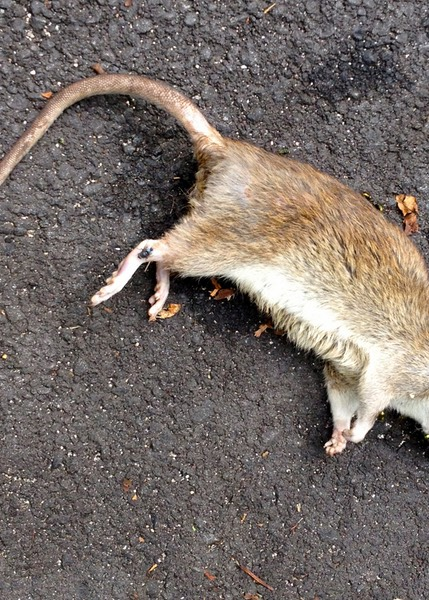 Dead Norway Rat